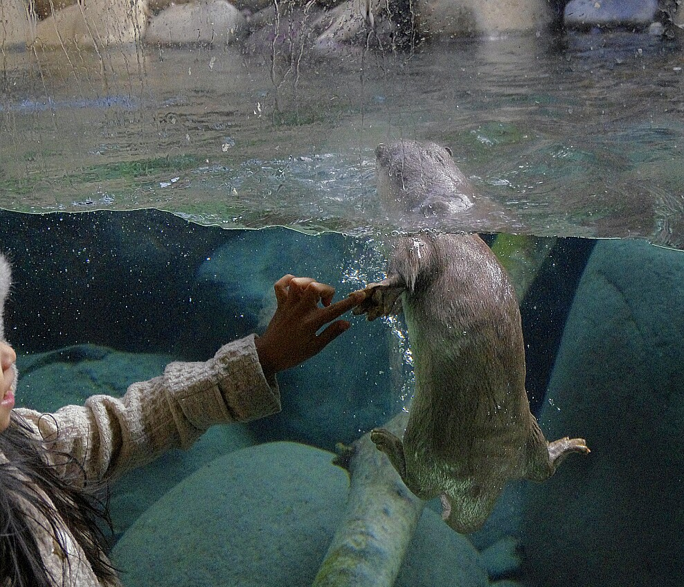 Otter and Human Touch Paw to Finger through the Glass
