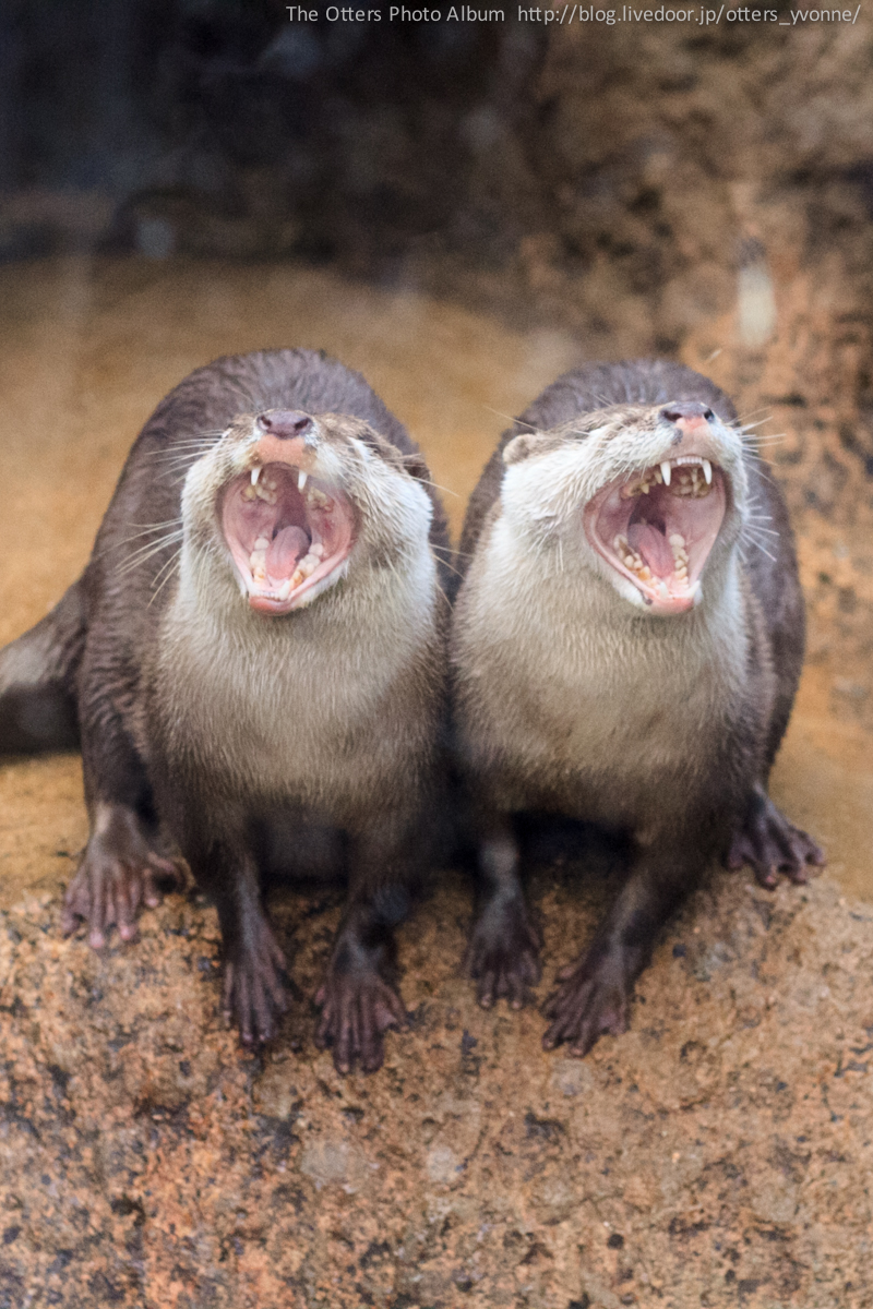 Otters Belt Out a Duet