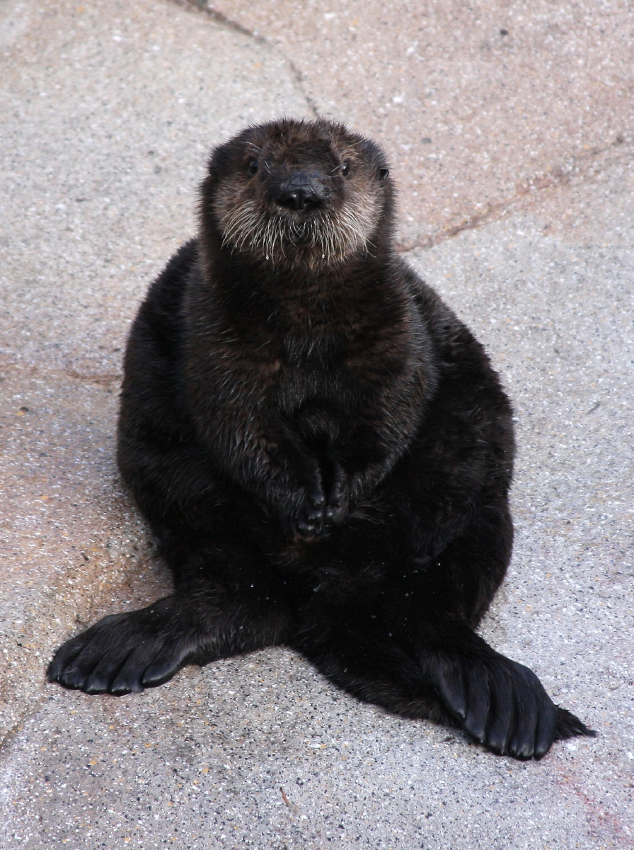 New Otter Pup on Exhibit at Monterey Bay Aquarium!