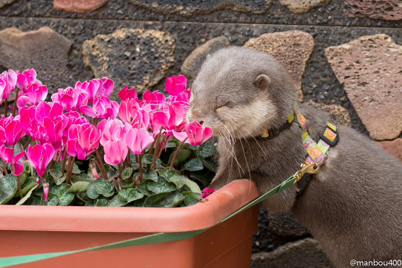 Little Otter Haku Stops to Smell the Flowers