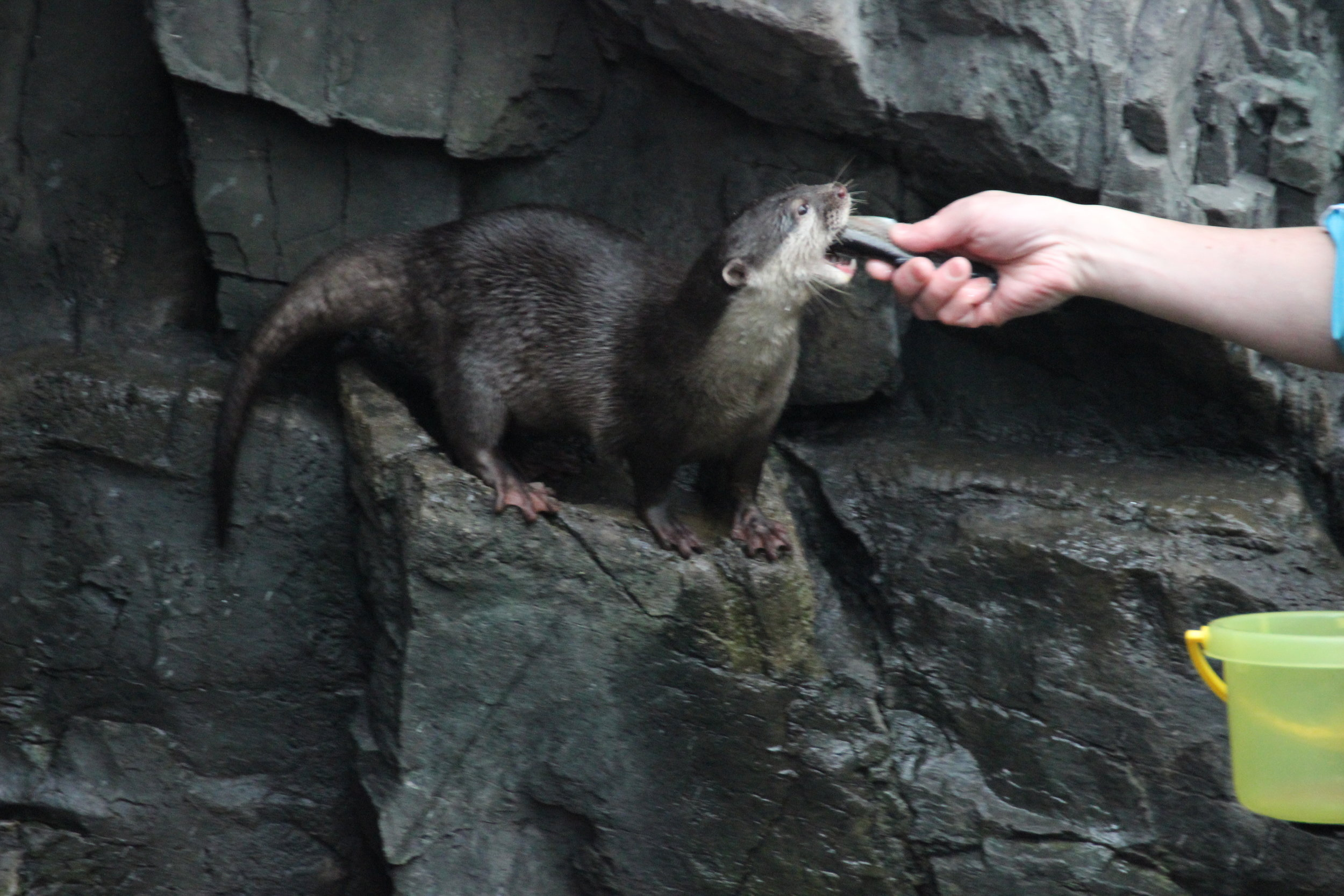 Pampered Otter Is Hand-Fed a Fish