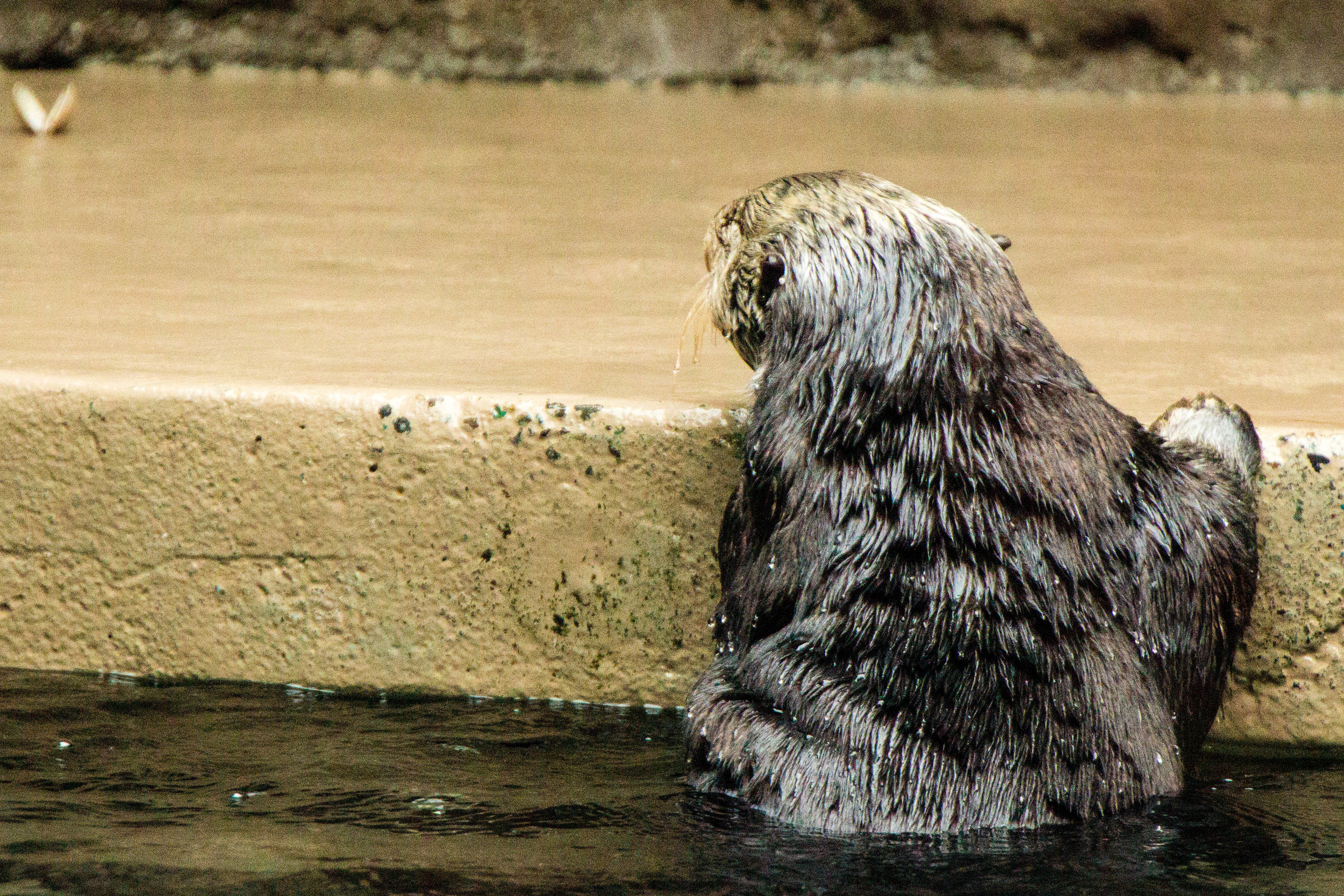 Sea Otter Considers Leaving the Pool to Grab That Clam