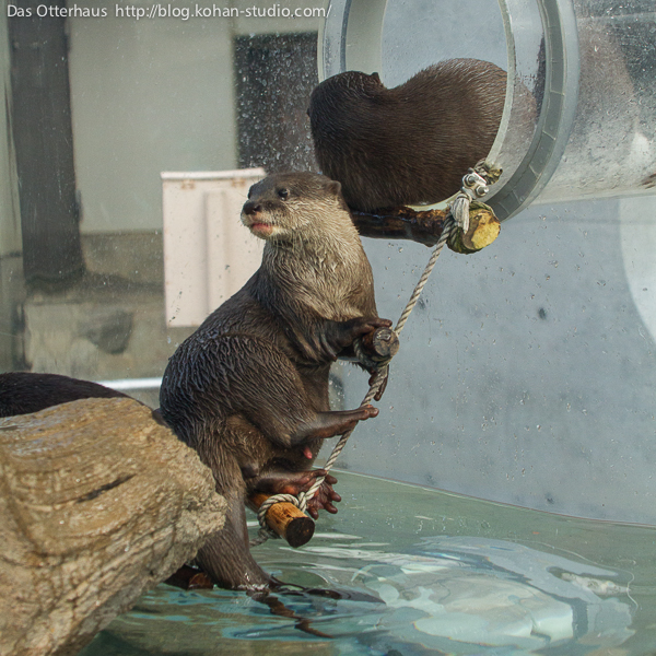 Otter Has Second Thoughts About Leaving the Pool for the Tube