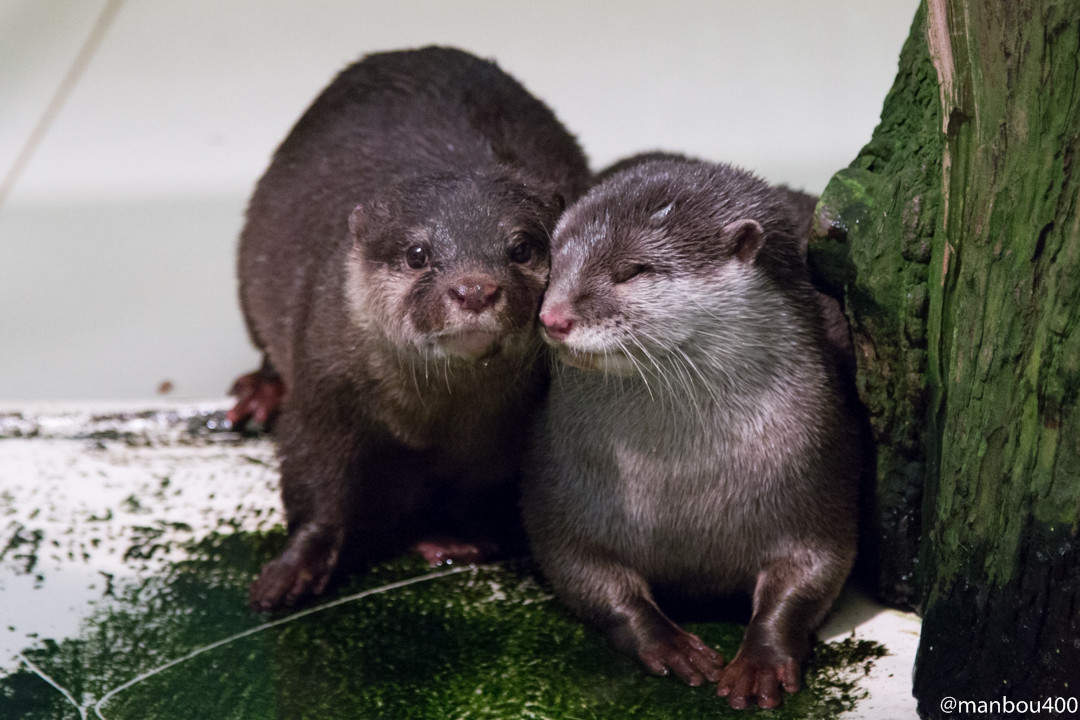 Otter Valentines Snuggle, Kiss, and Walk with One's Tail Around the Other 1