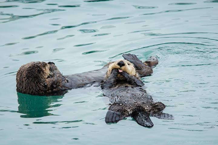 Sea Otter Makes a Cheeky Face for the Camera