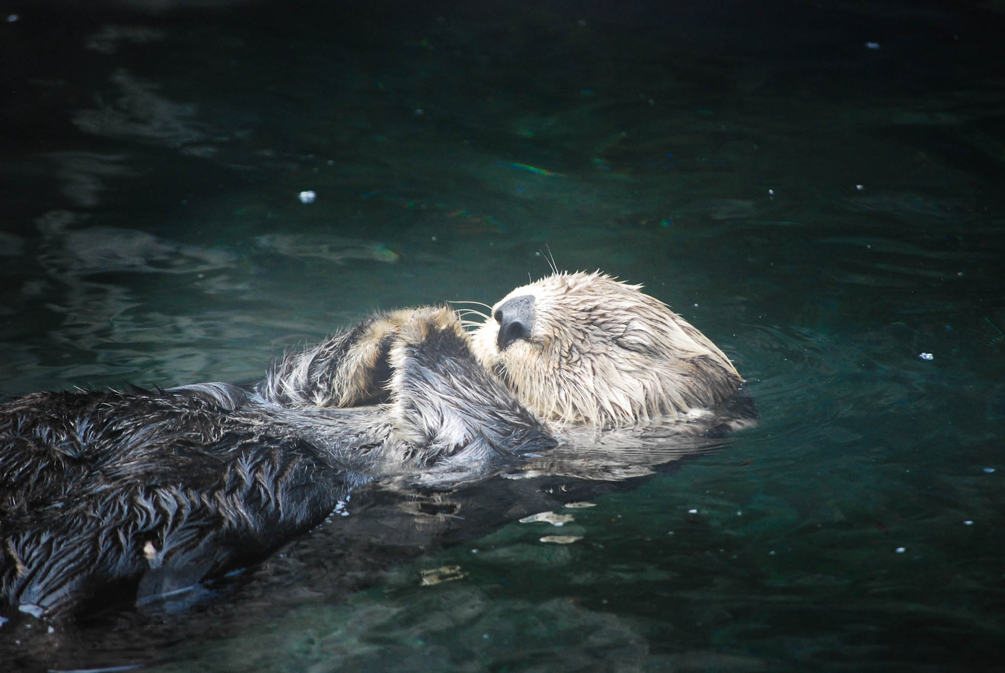 Sea Otter Meditates