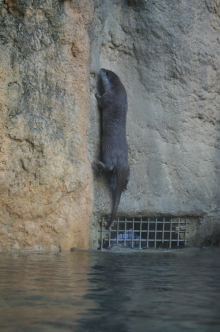 Having Mastered Swimming, Otter Turns His Attention to Rock Climbing