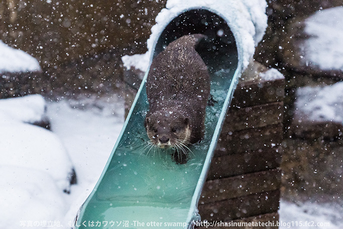 Otters Seem a Little Distracted by the Fallen Snow 4