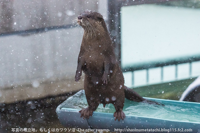 Otters Seem a Little Distracted by the Fallen Snow 1