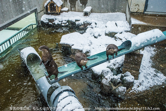Otters Seem a Little Distracted by the Fallen Snow 3