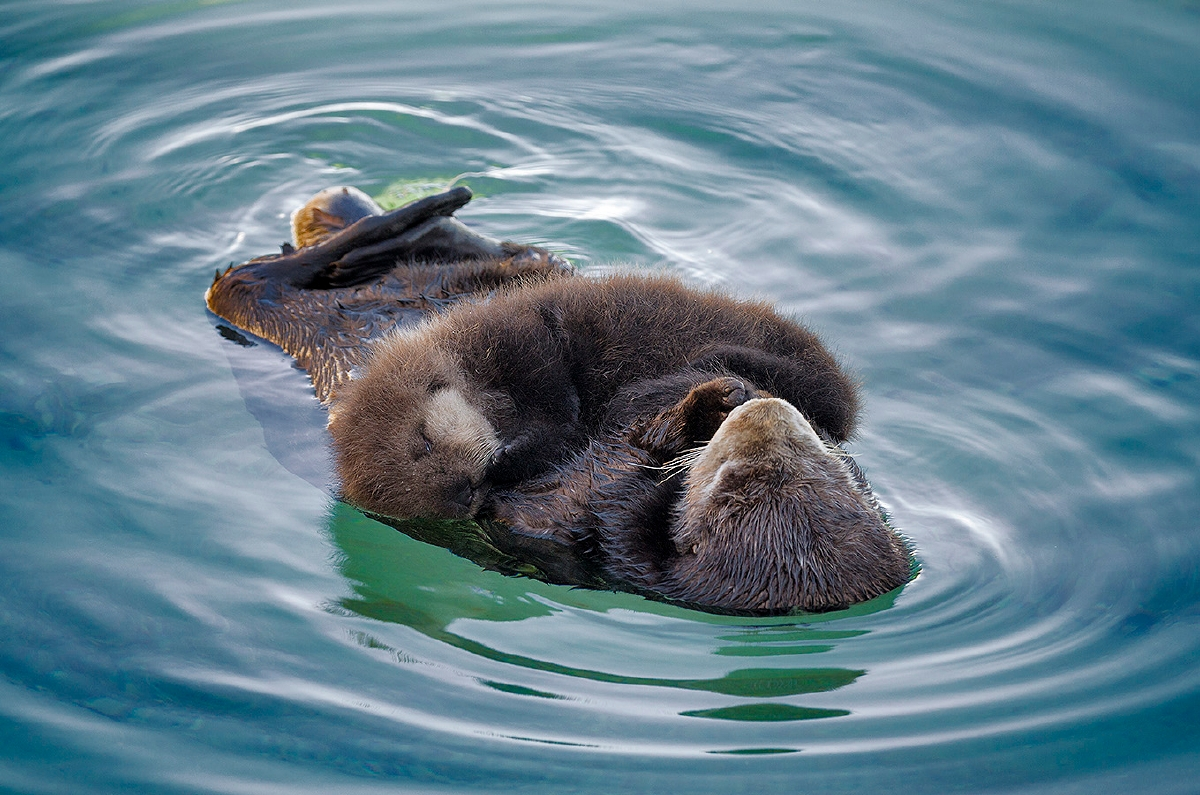 Photos from a Wild Sea Otter Mother and Pup's Visit to Monterey Bay Aquarium 3
