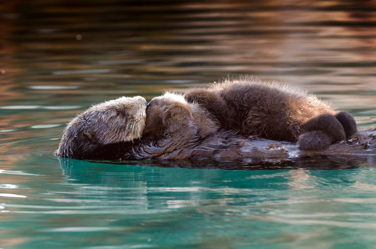 Photos from a Wild Sea Otter Mother and Pup's Visit to Monterey Bay Aquarium 1
