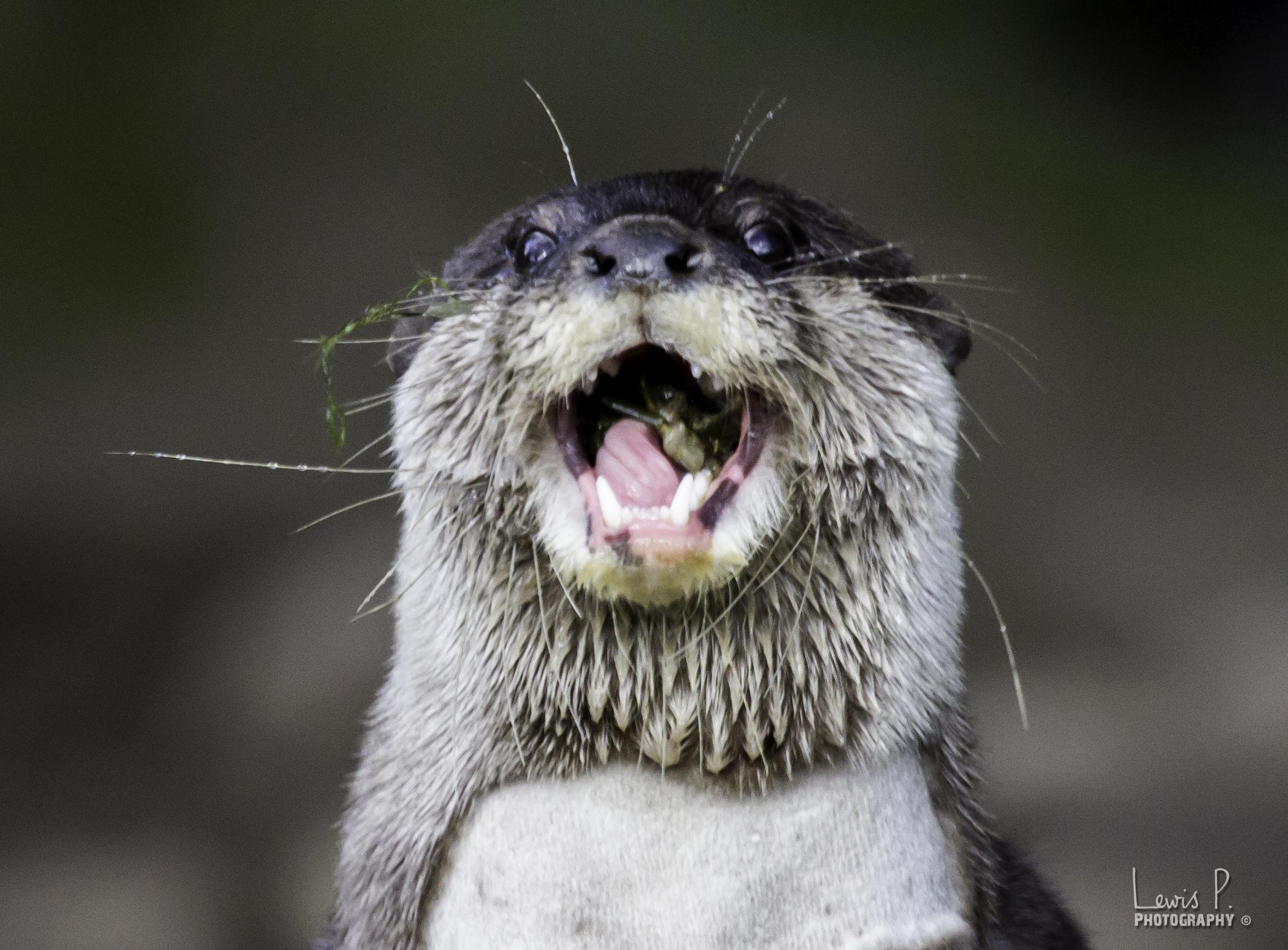Otter Is Just Delighted to Nom This Snack 3