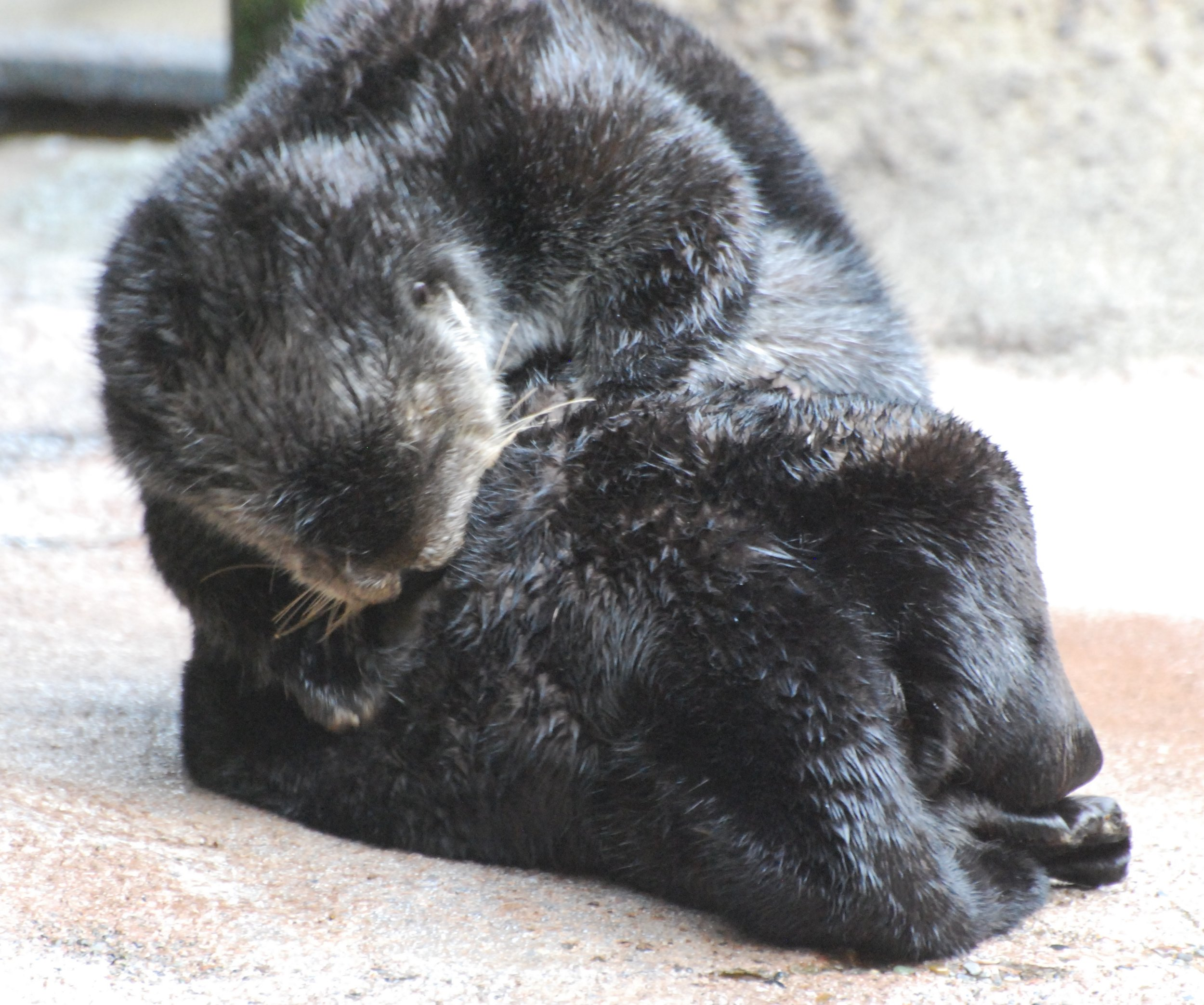 Sea Otter Has an On-Land Grooming Session