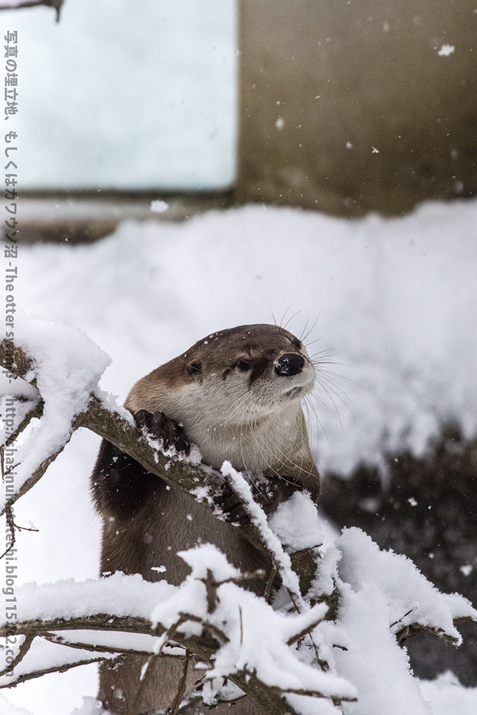 Otter Explores a Snowy Tree 3
