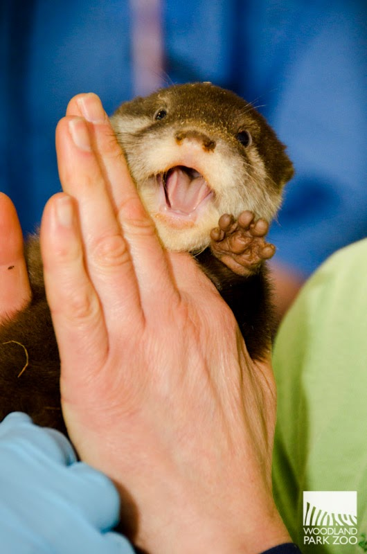 Otter Pups Happily Get Their First Vet Check 1