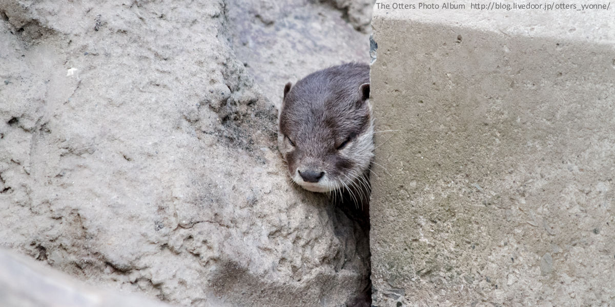 Otter Is Between a Rock and a Hard Place