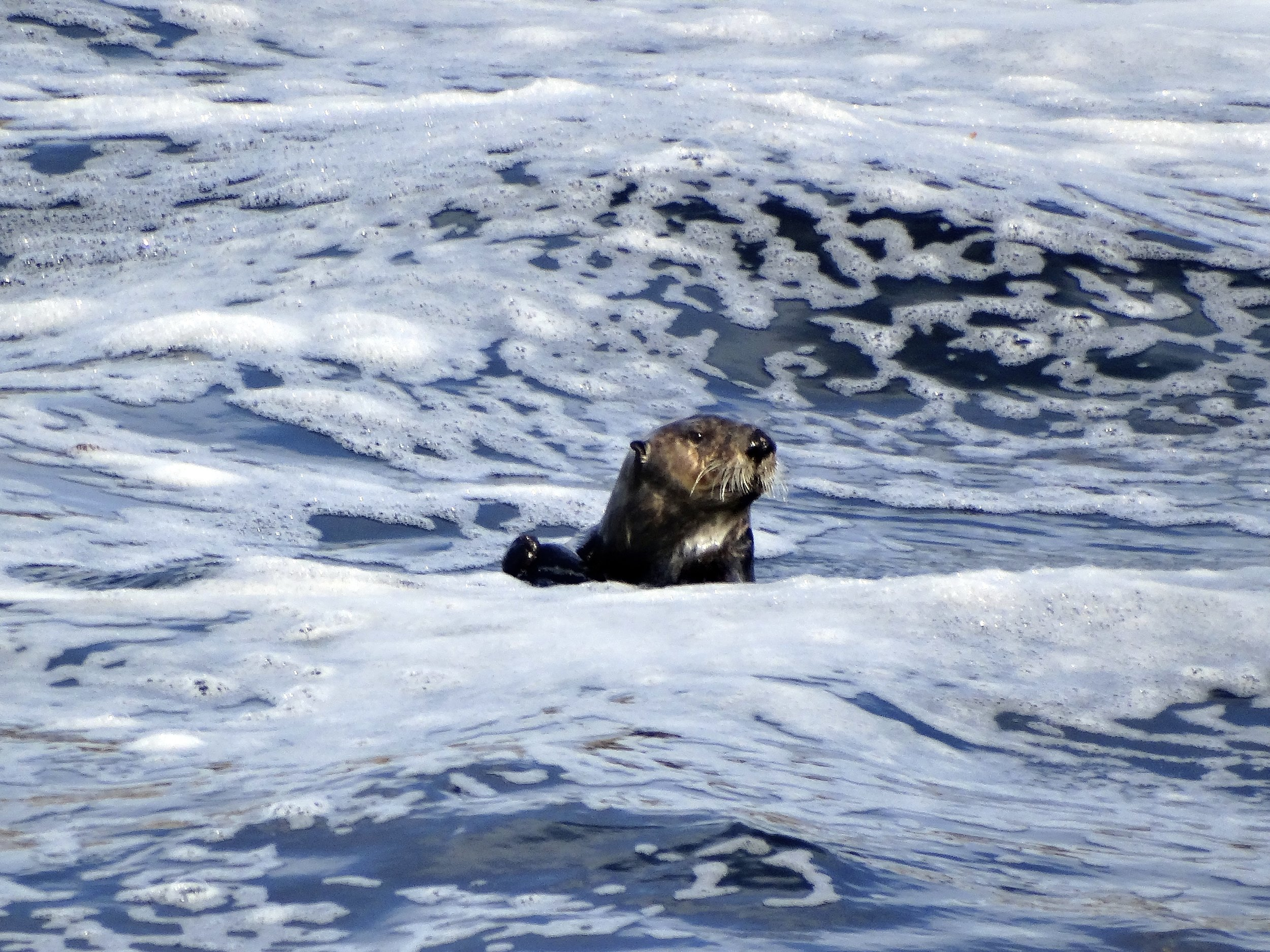 Sea Otter Floats, Noms, and Navigates the High Seas 3