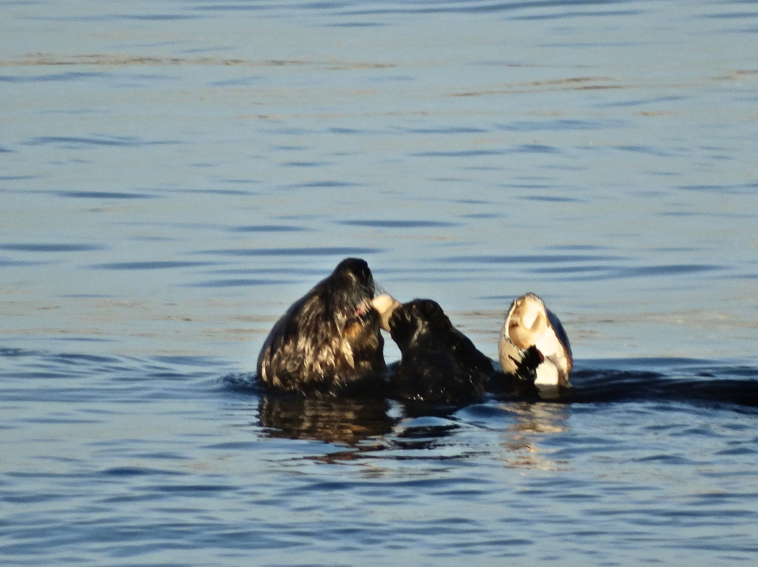 Sea Otter Floats, Noms, and Navigates the High Seas 2