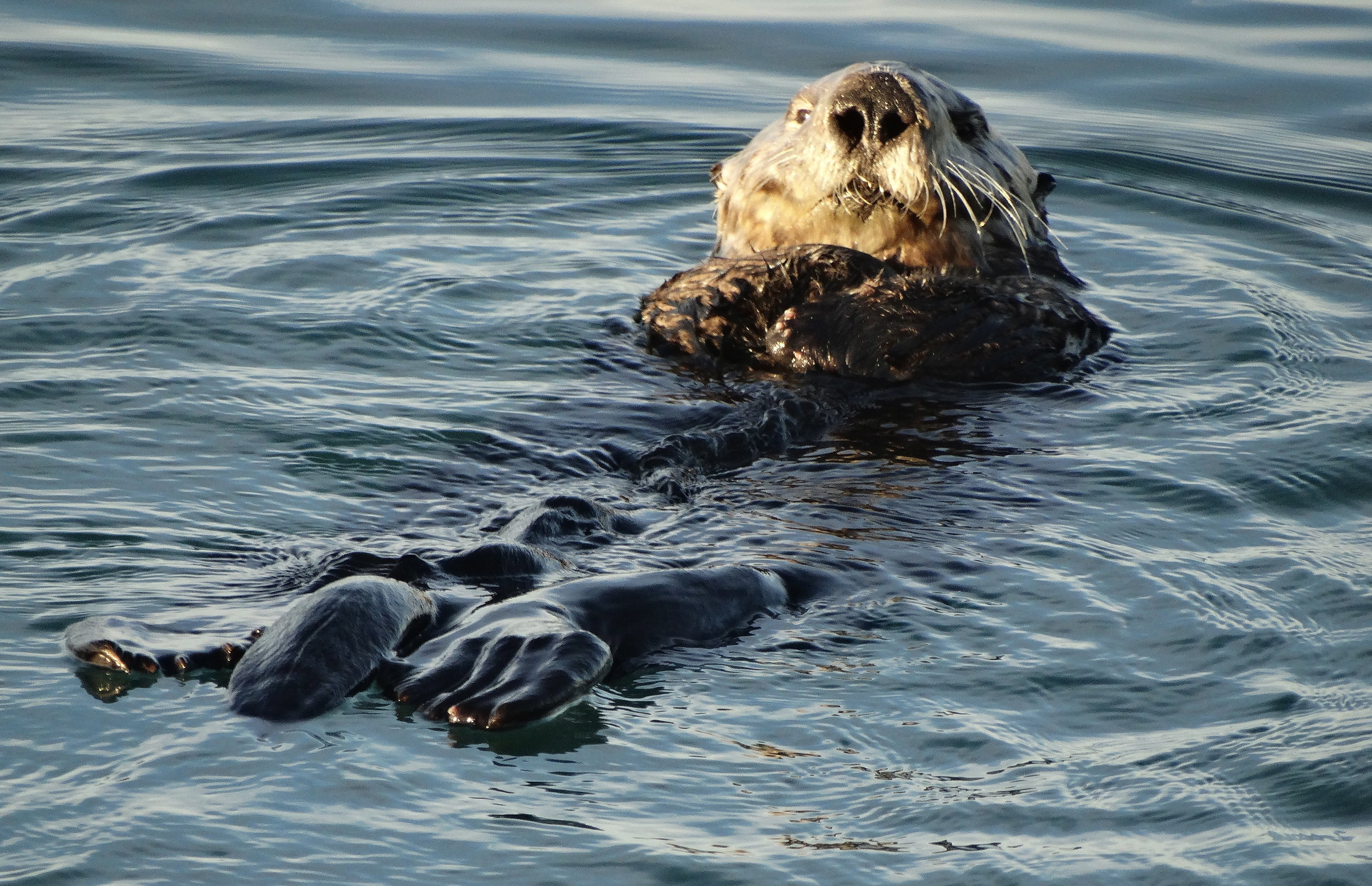 Sea Otter Floats, Noms, and Navigates the High Seas 1
