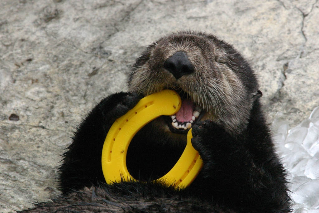 Sea Otter Happily Nibbles on a Play Horseshoe