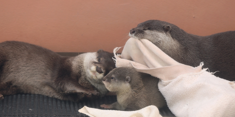 One Otter Parent Wipes the Pup's Mouth and the Other Pulls a Blanket Over Him 2