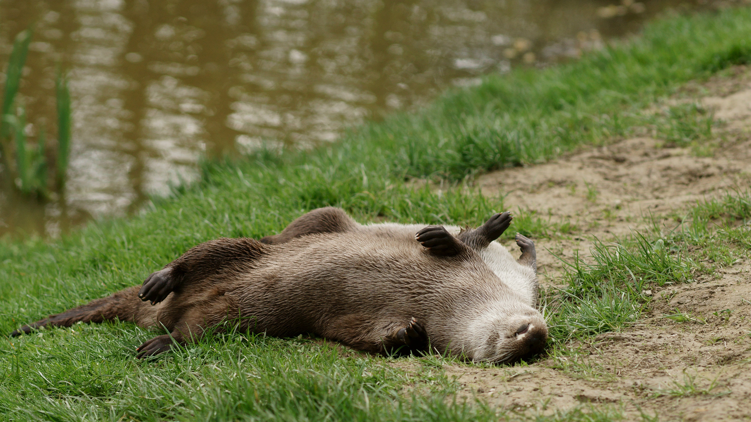 Otters Roll in the Grass