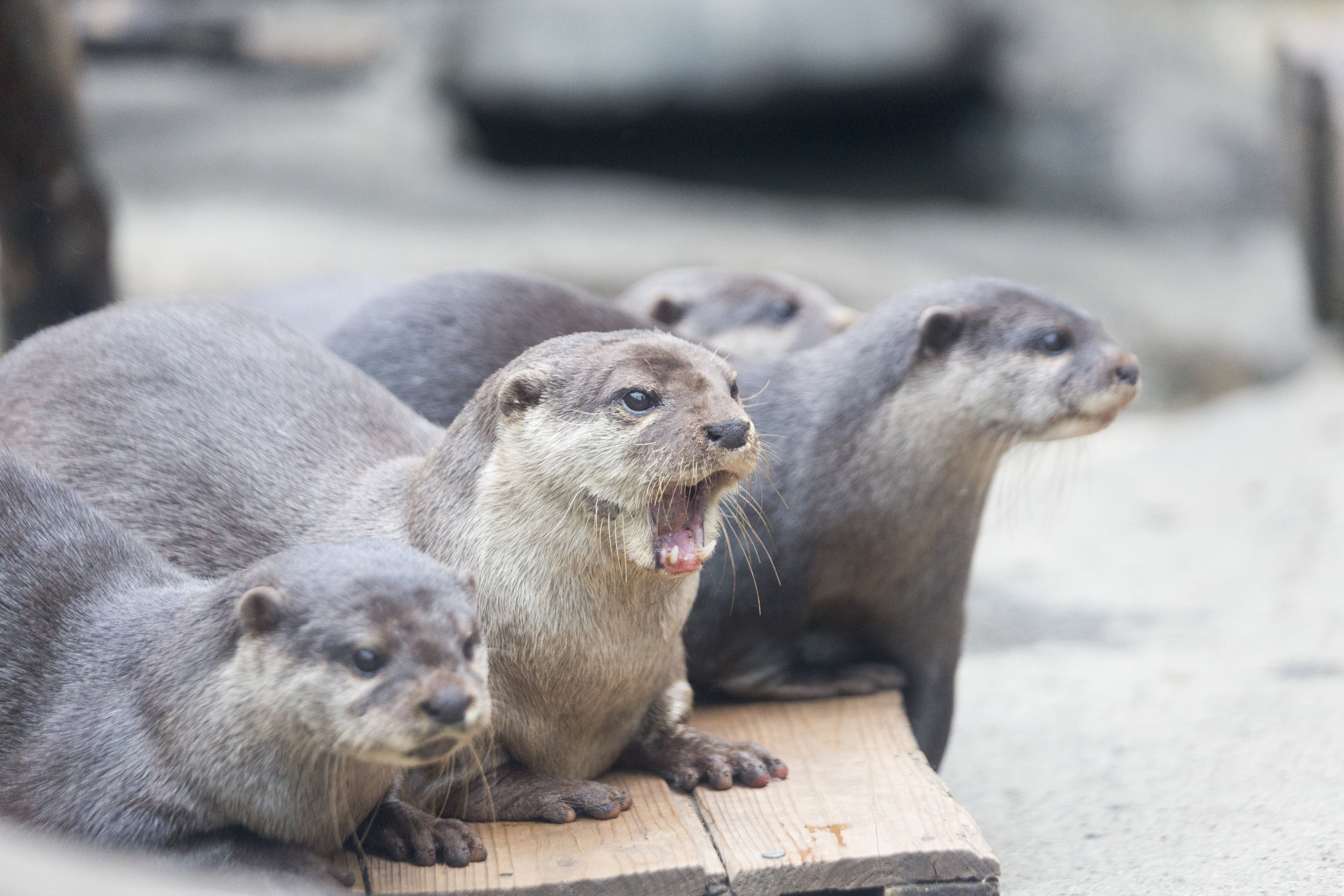 Otter's Jaw Drops