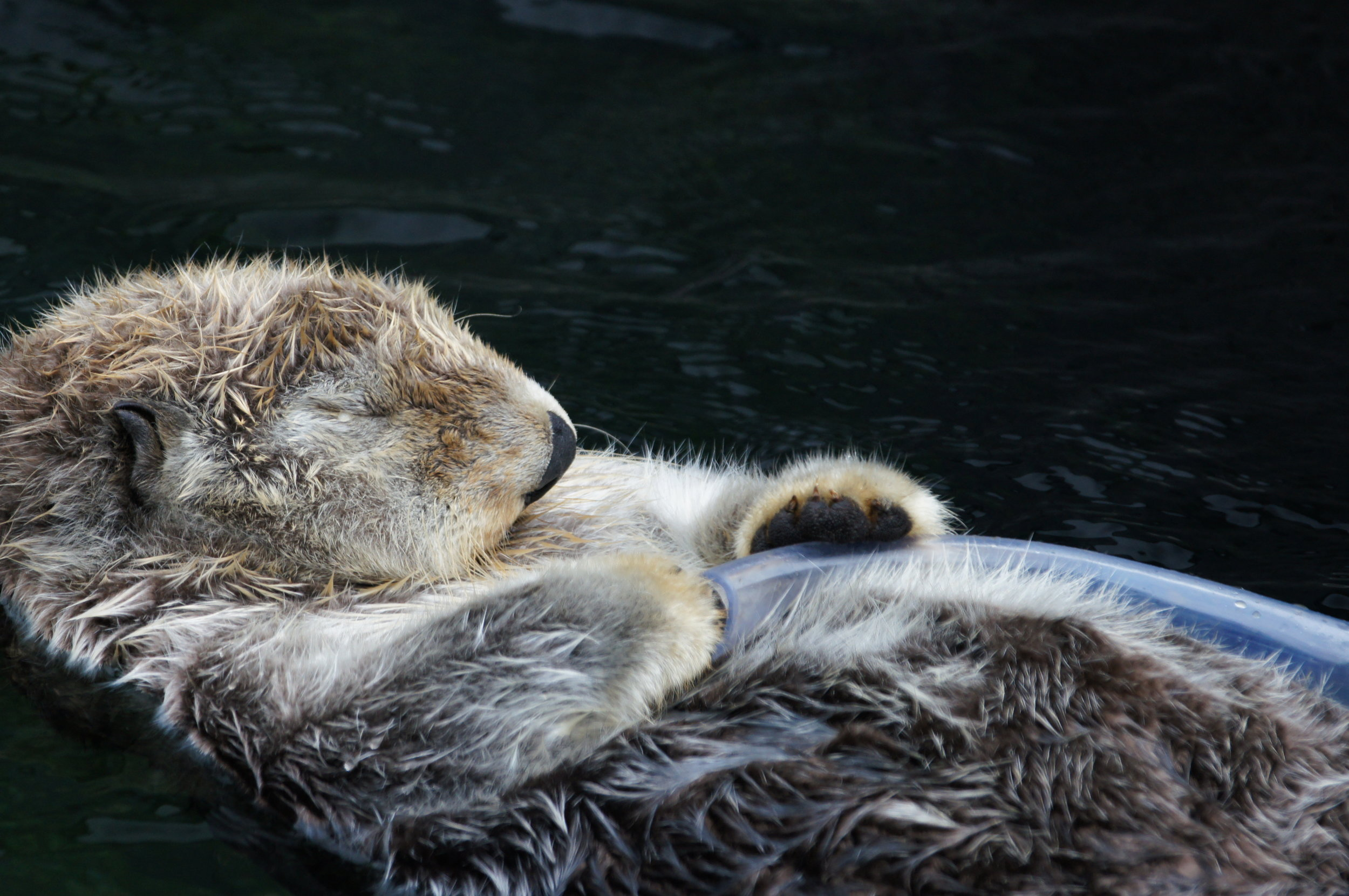 Sea Otter Snoozes Holding a Tube Toy