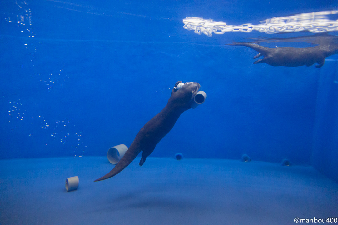Otter Dives to Grab a Favorite Pipe Piece 2