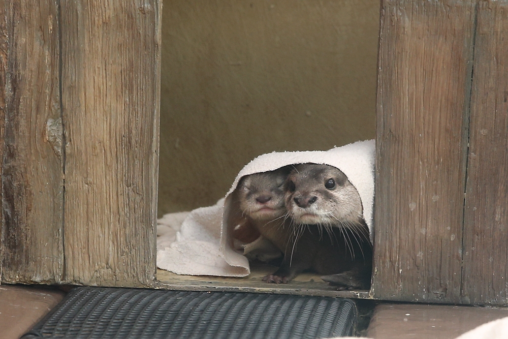 One Otter Parent Wipes the Pup's Mouth and the Other Pulls a Blanket Over Him 3