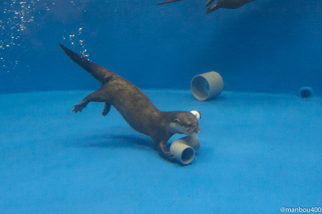 Otter Dives to Grab a Favorite Pipe Piece 1