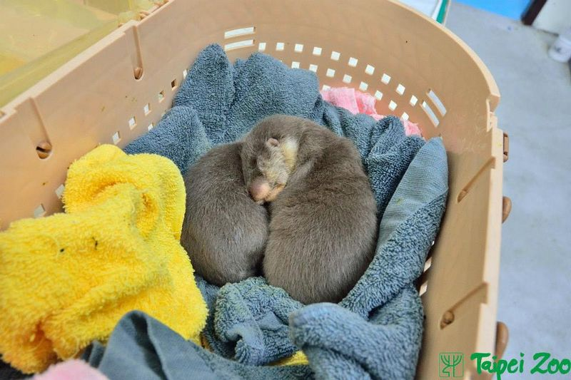 Rescued Otter Pups Find Emergency Help at Taipei Zoo 3