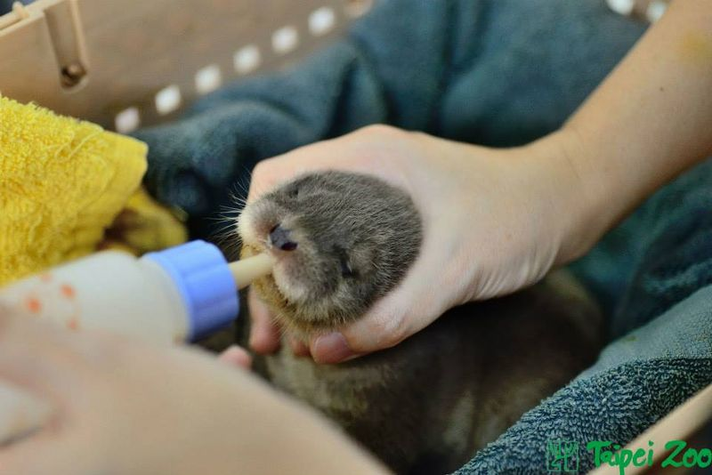 Rescued Otter Pups Find Emergency Help at Taipei Zoo 2