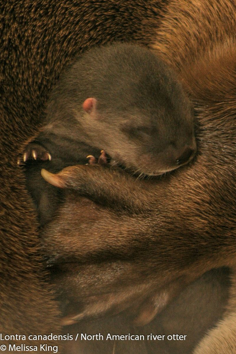 Mother Otter Snuggles Her Newborn Pup at Buffalo Zoo 2