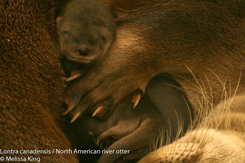 Mother Otter Snuggles Her Newborn Pup at Buffalo Zoo 3