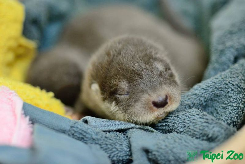Rescued Otter Pups Find Emergency Help at Taipei Zoo 1