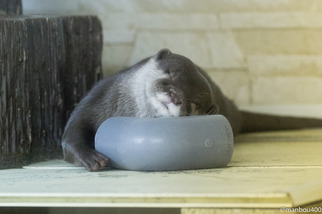 Otter Dives to Grab a Favorite Pipe Piece 3