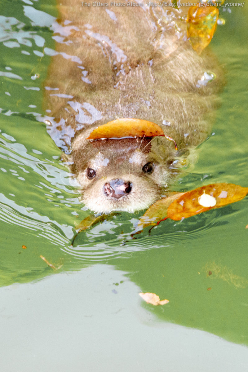 Maybe If Otter Disguises Himself with Leaves Human Won't See Him Coming