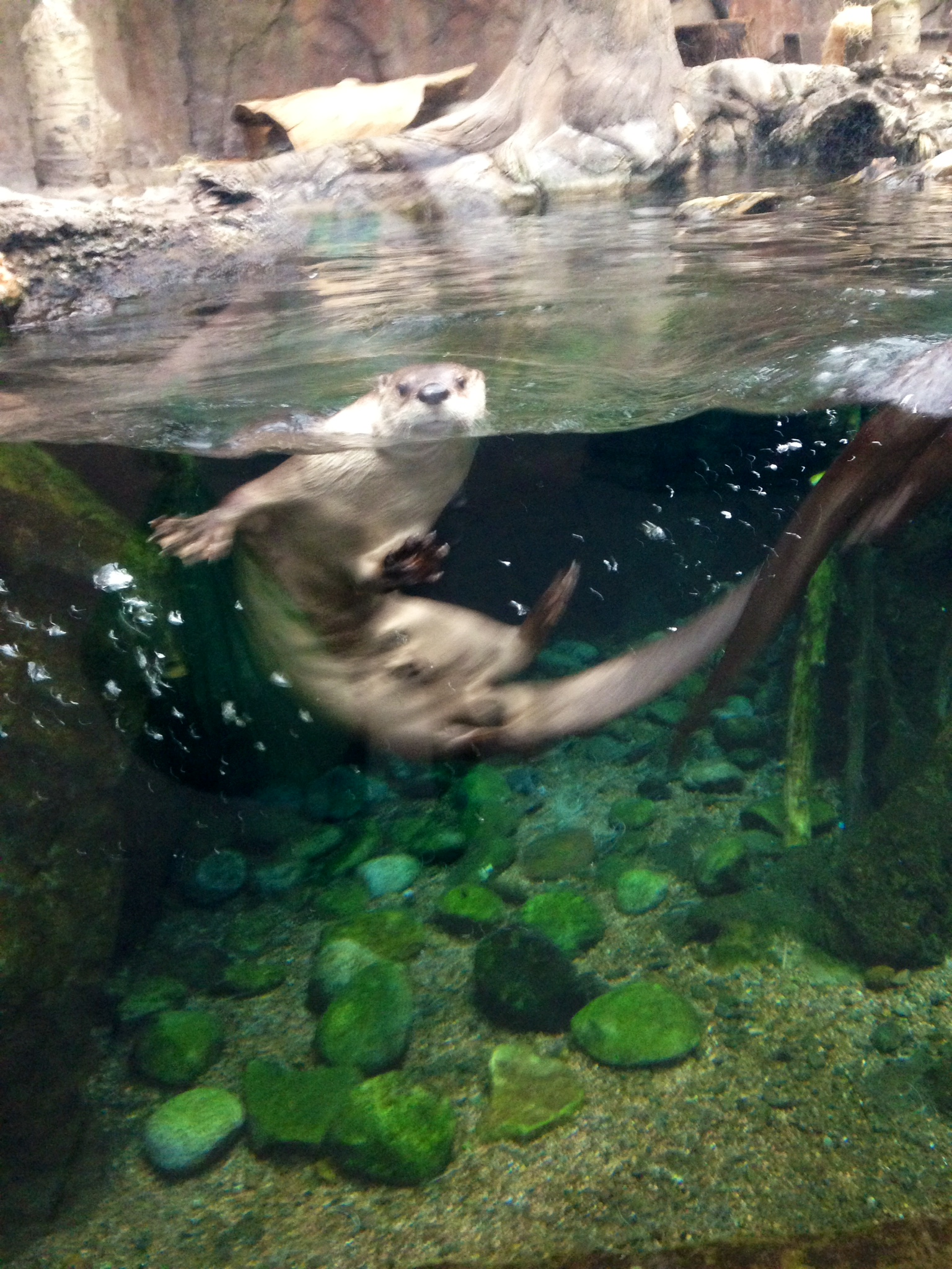 Otter Is Very Interested in What Aquarium Staff Are Up To 1