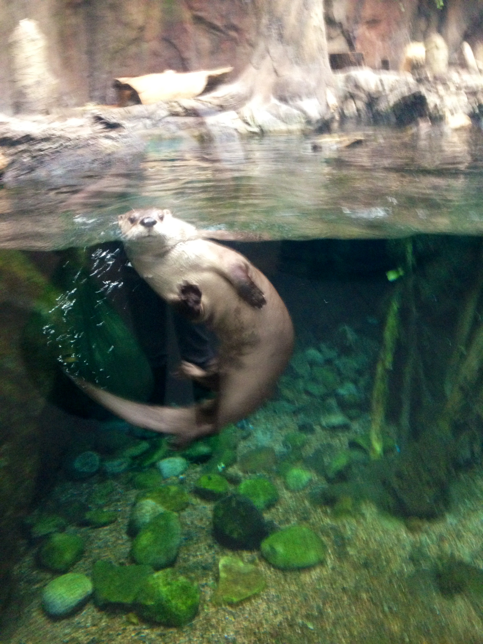Otter Is Very Interested in What Aquarium Staff Are Up To 2