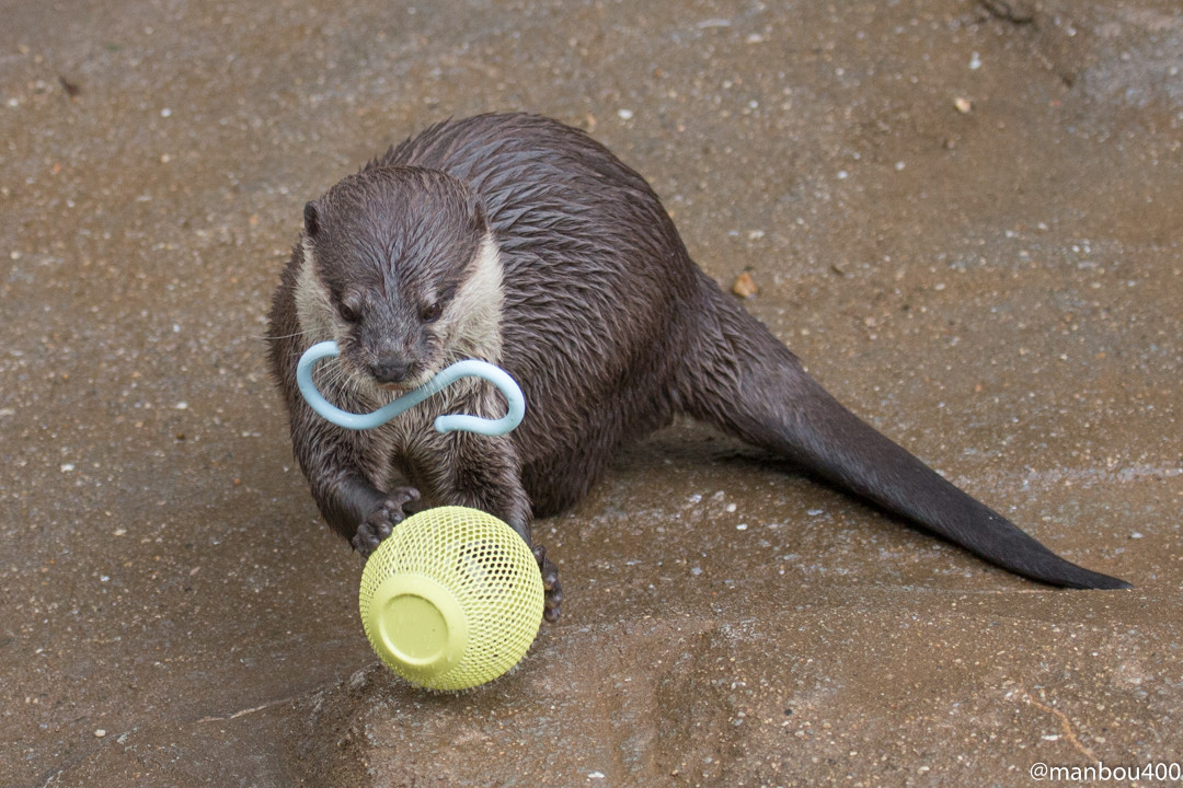 Otters Are Loaded Up with Toys 1