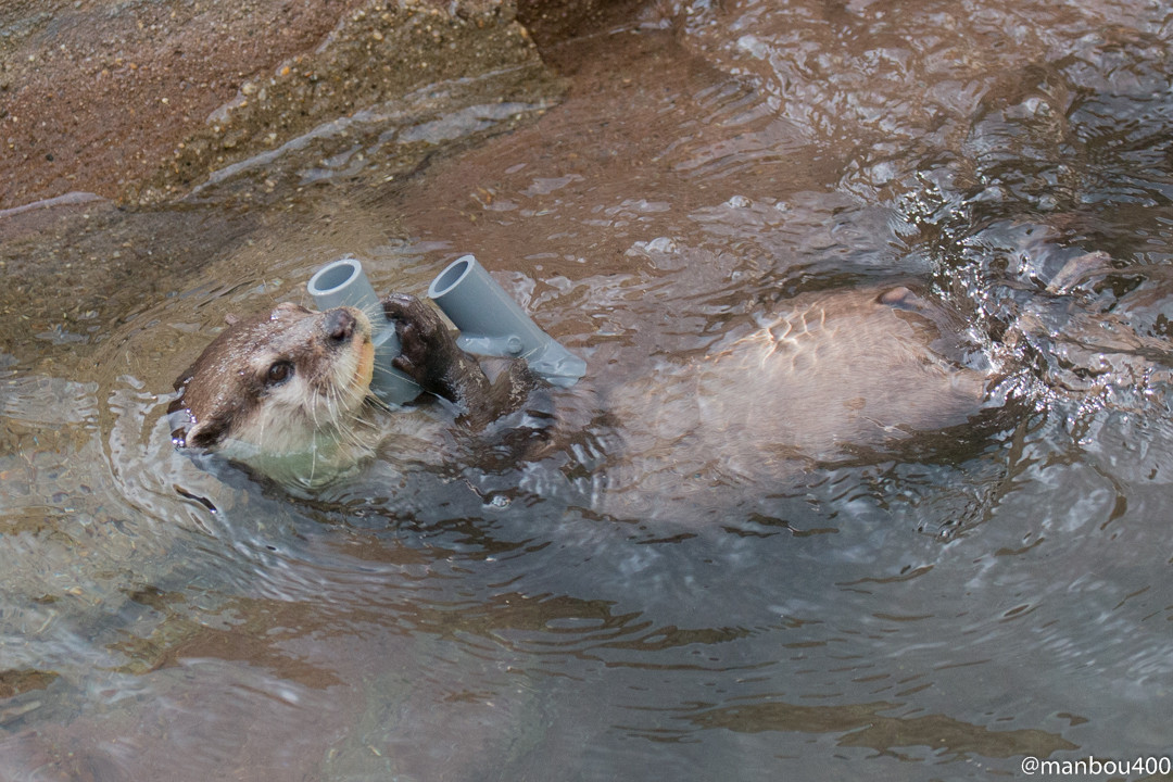 Otters Are Loaded Up with Toys 3