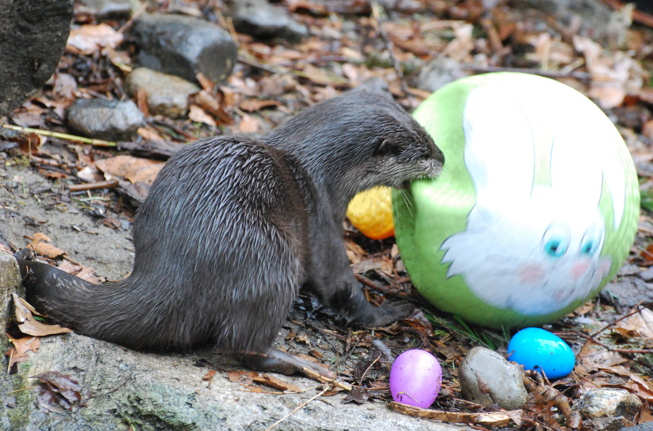 Otters Set to Damaging Their Easter Toys 1