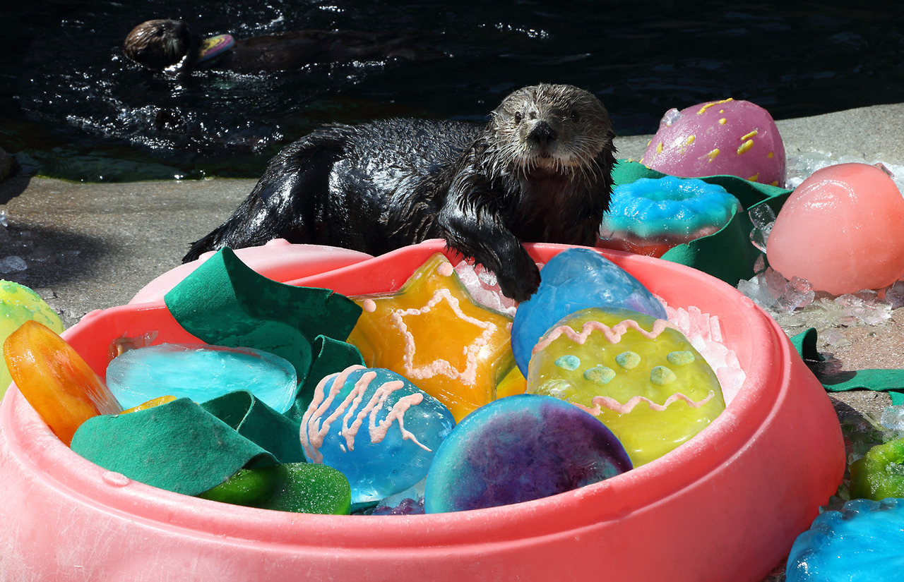 Sea Otters at Monterey Bay Aquarium Celebrate Easter with Ice Eggs and Clam Frosting 1