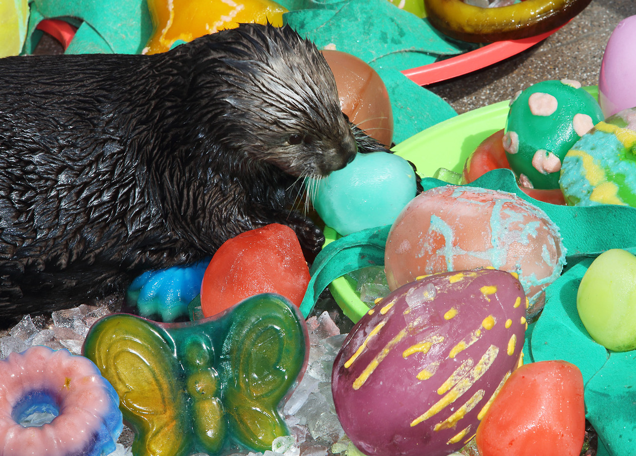 Sea Otters at Monterey Bay Aquarium Celebrate Easter with Ice Eggs and Clam Frosting 2
