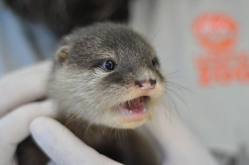 Wide-Eyed Otter Pup Gasps 1