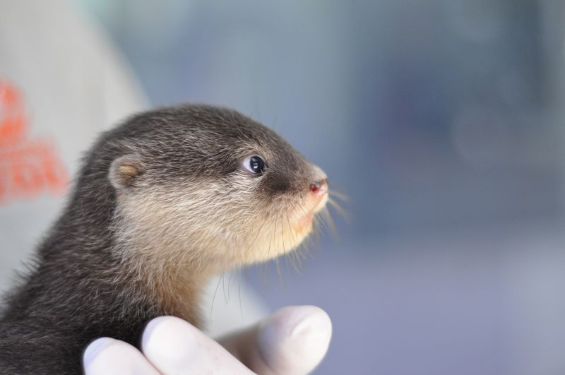 Wide-Eyed Otter Pup Gasps 2