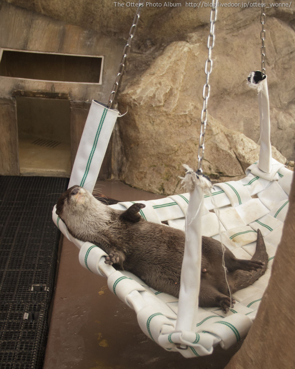 Otter Is Completely Relaxed in His Hammock