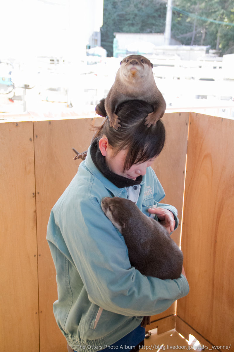 Not Content to Be Held in the Keeper's Arms, Otter Perches on Her Head Instead